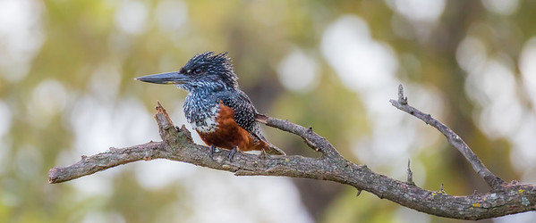 Giant Kingfisher (Megaceryle maximus)
