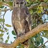 Verreaux's Eagle Owl (Bubo lacteus)