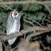 Southern White-faced Owl (Ptilopsis granti)