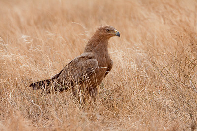 Tawny Eagle; August 26, 2012; Samburu National Reserve, Kenya