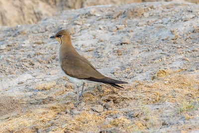 Black-winged Pratincole (Glareola nordmanni)