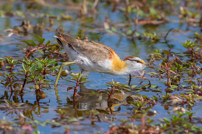 Least Jacana (Microparra capensis)
