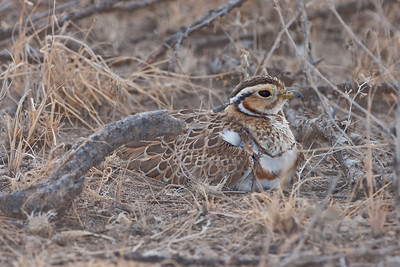 Three-banded Courser (Rhinoptilus cincture)