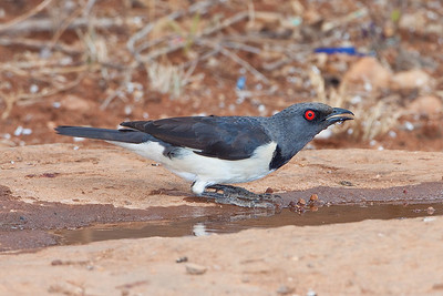 Magpie-starling; August 27, 2012; Kampala Nature Reserve, Kenya