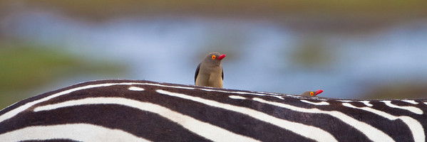 Red-billed Oxpeckers (Buphagus erythrorhynchus)