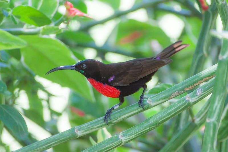 Hunter's Sunbird (Chalcomitra hunter)