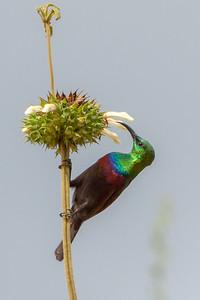 Marico Sunbird (Cinnyris marquensis)
