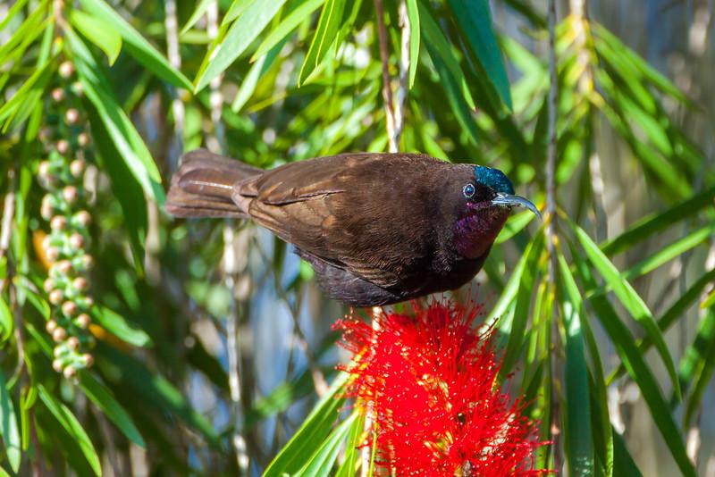 Amethyst Sunbird (Chalcomitra amethystina)