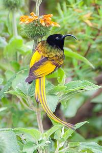 Golden-winged Sunbird (Drepanorhynchus reichenowi)