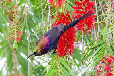 Tacazze Sunbird (Nettarina tacazze)