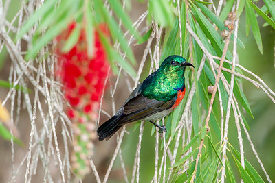 Northern Double-collared Sunbird (Cinnyris preussi)