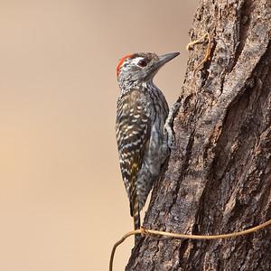 Cardinal Woodpecker (Dendropicos fuscesens)
