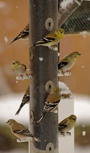 Goldfinch in winter plummage