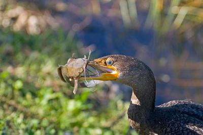 Anhingas - Cormorants