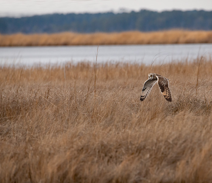 Short-earaed Owl on the Hunt