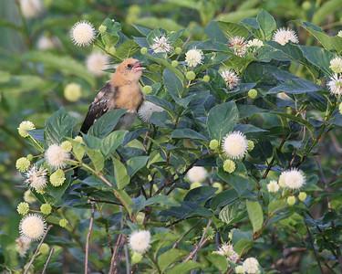 Blackbird, Yellow-Headed