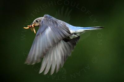 Bluebird, Eastern [In-Flight]