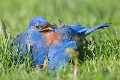 Bluebird, Eastern [Misc]