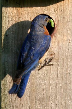 Bluebird, Eastern [Nestbox]