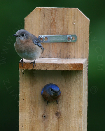 Bluebird, Eastern [Pair]