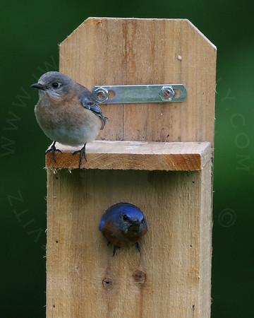 Bluebird, Eastern [Pair]