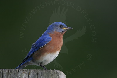 Bluebird, Eastern [Perched]