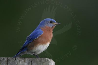 Bluebird, Eastern [Perched]