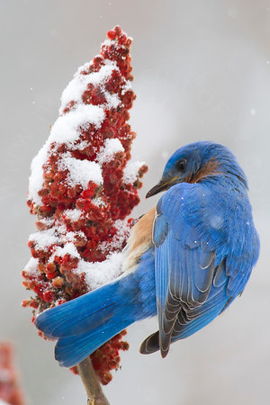 Bluebird, Eastern [Winter]