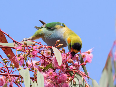 Purple-crowned Lorikeet - 7646