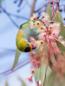 Purple-crowned Lorikeet - 7542