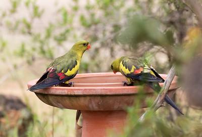 Regent Parrot - 6941