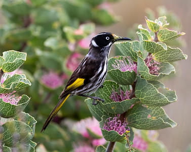 New Holland Honeyeater - 8245