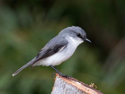 White-breasted Robin - 8597