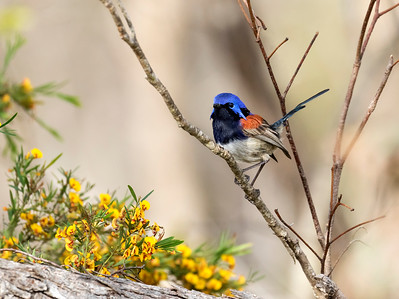 Blue-breasted fairy-wren - 7333a