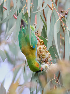 Purple-crowned Lorikeet - 7235