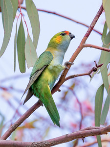 Purple-crowned Lorikeet - 7609