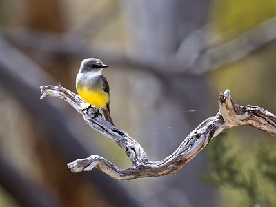 Western Yellow Robin - 6498