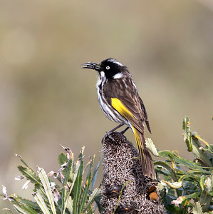 New Holland Honeyeater - 8385
