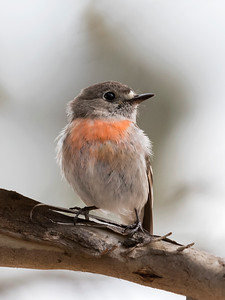 Scarlet Robin - 7065