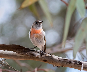 Scarlet Robin - 7056