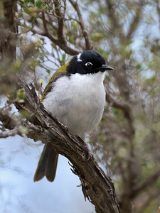 Gilbert's Honeyeater - 6171