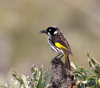 New Holland Honeyeater - 8383