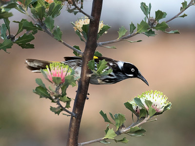 New Holland Honeyeater - 6675