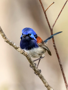 Blue-breasted Fairy-wren - 7336
