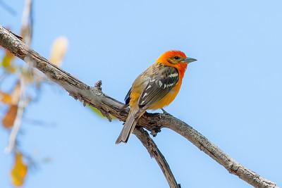 Flame-colored Tanager (Piranga bidentata)
