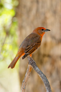 Hepatic Tanager (Piranga flava)