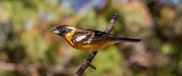 Black-headed Grosbeak (Pheucticus melanocephalus)