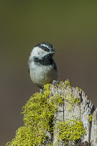 Mountain Chickadee (Poecile gambeli)