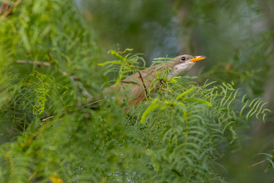 Yellow-billed Cuckoo (Coccyzus minor)