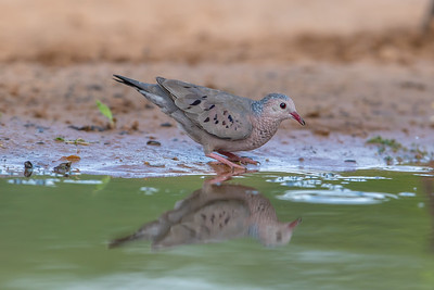 Common Ground-Dove (Columbina passerina)